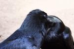 knuffelende-raven1-large-bbb20740628b0a54141cc750ae095576329a7451